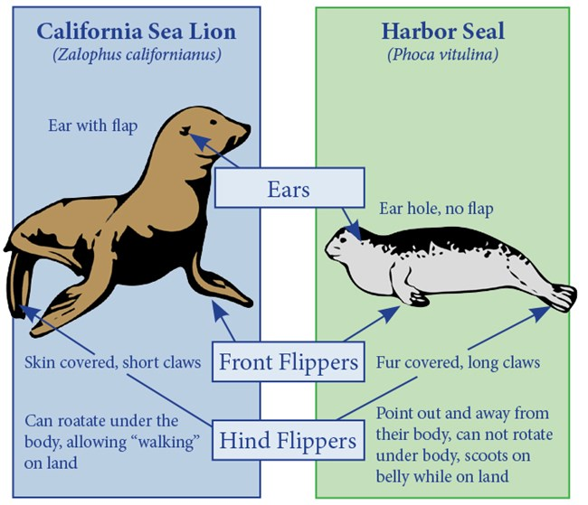 Seals and Sea Lion Identification