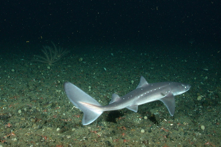 Spiny-Dogfish