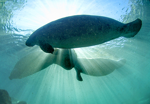 Manatees Helping Protect the Environment