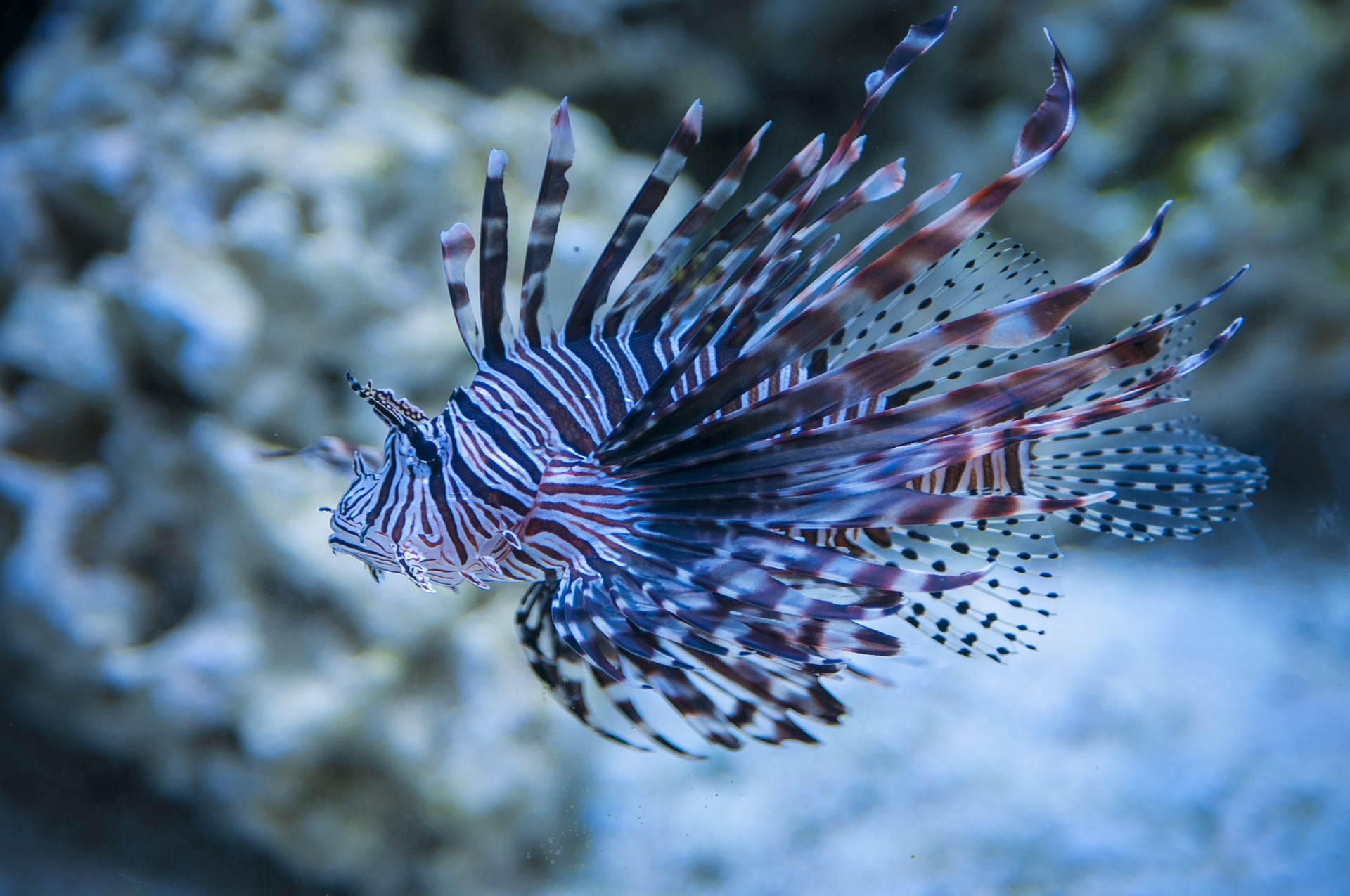 the exotic lionfish
